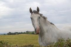 Cavallo: Clogheen  / Cahir -  Irlanda 2017