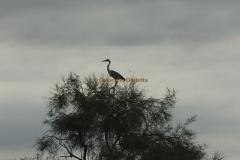 silhouette_airone
